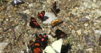 Почему бабочки-монархи стали реже совершать полеты?