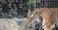 Козлу Тимуру и тигру Амуру нашли соседей