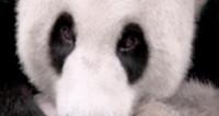«Онлайн-животными года» стали Сердитый Котик и панда Бэй-Бэй