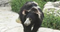 Дикий медведь бродил по жилому району Петропавловска-Камчатского