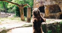 Дружба медведя и самки барсука: новая версия Амура и Тимура