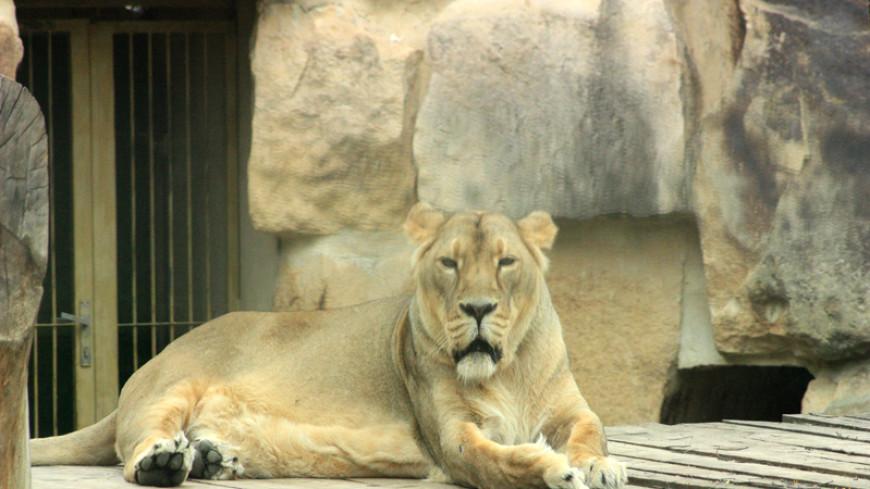 В зоопарке Сан-Диего выбирают имена львятам