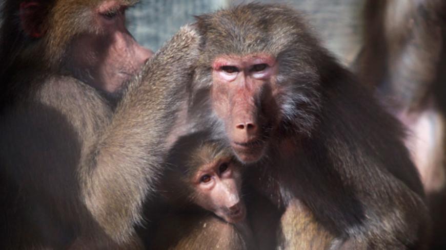 Гвинейские павианы могут «общаться по-человечески»