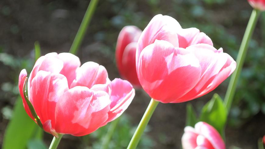 Купил тюльпан – помог ребенку: в Астане стартовала благотворительная акция