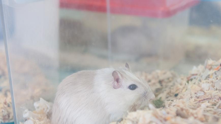 «Курящие» мыши оказались умными, но трусливыми