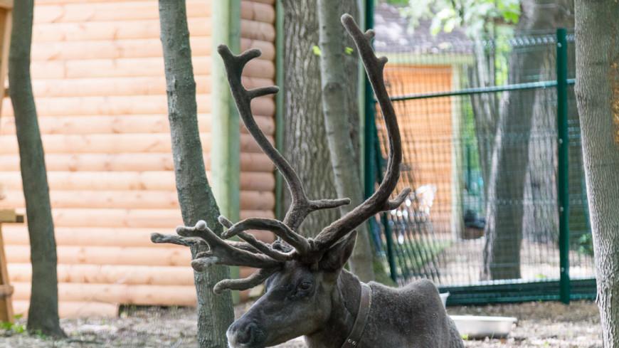 На Ямале из-за сибирской язвы оленей будут прививать ежегодно
