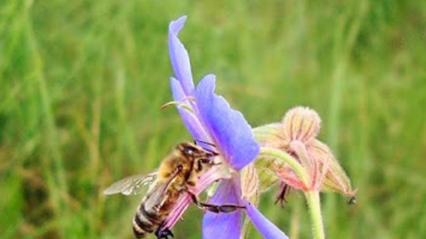 Земля через 20 лет может остаться без пчел