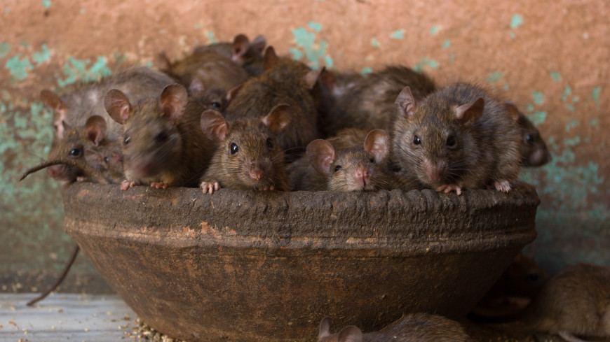 Новая Зеландия объявила войну крысам