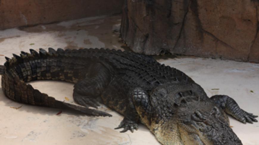В филиппинском заповеднике сдох крокодил весом более тонны