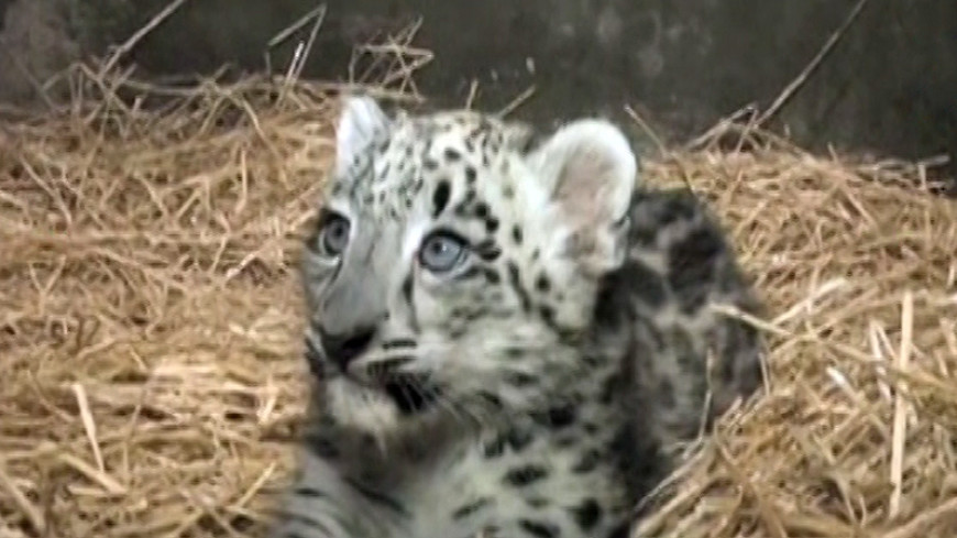 В Чикагском зоопарке родился редкий снежный барс