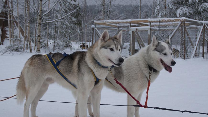 Финальный этап гонок на собачьих упряжках стартовал в Костромской области