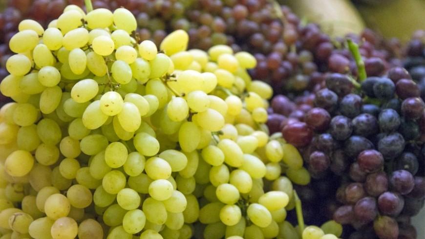 Азербайджанские фермеры собрали небывалый урожай винограда