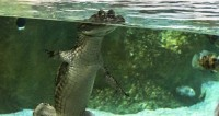 Мужчина в Новороссийске купал среди детей на пляже крокодила