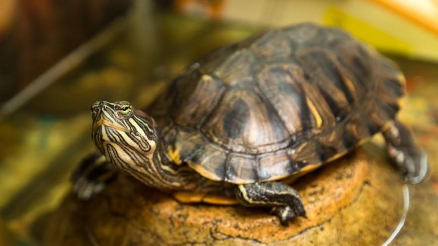 "Фото: Максим Кулачков, ""«Мир 24»"":http://mir24.tv/, черепаха"