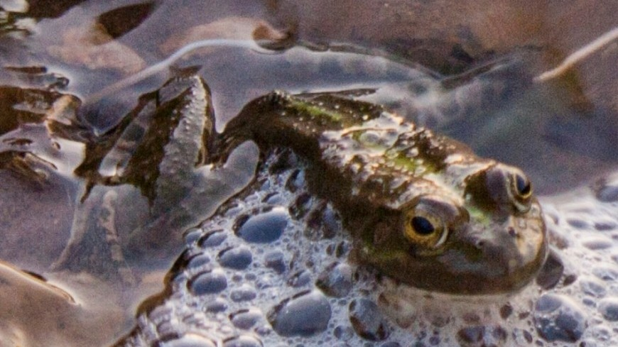 Ученые: Вымирание динозавров привело кэволюции лягушек