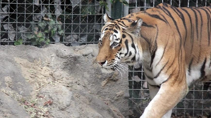 ВПриморском парке раскрыли детали новейшей дружбы тигра икозла