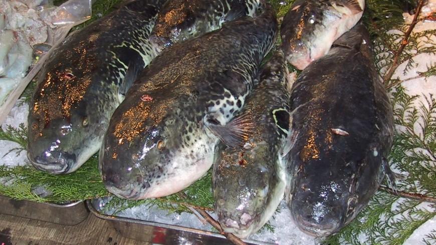 Ядовитую рыбу фугу запретят продавать в Малайзии без необходимой обработки