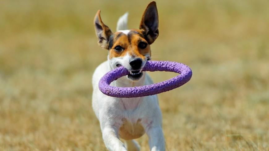 Дружелюбие собак пояснили «синдромом эльфа»