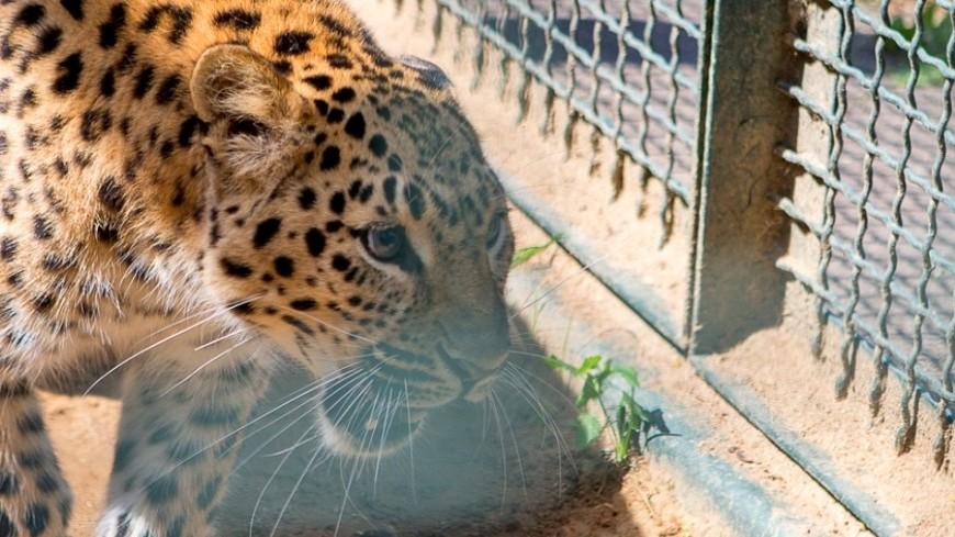 В контактном зоопарке в Саратове леопард едва не загрыз ребенка