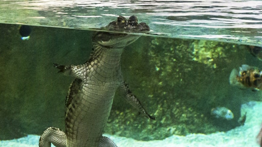 Маленькая, но отважная собачка загнала трехметрового крокодила в воду