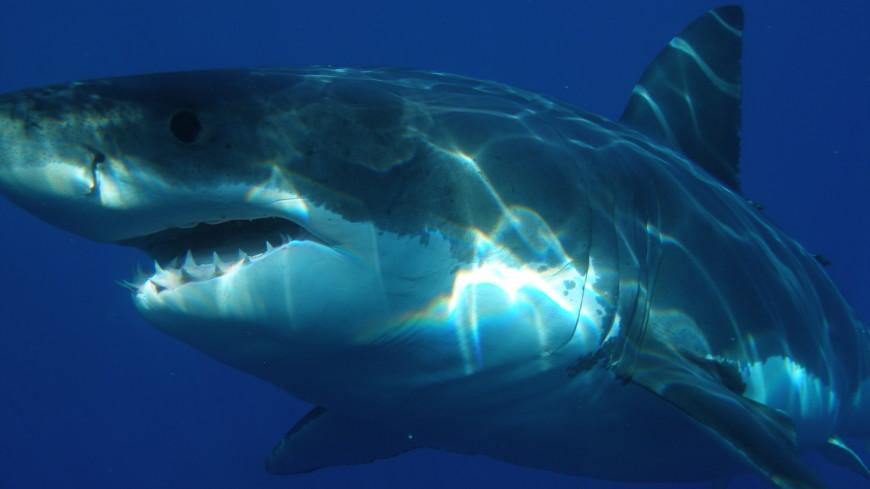 Майкл Фелпс проиграл заплыв на100 метров белой акуле