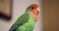 В Канаде соседи вызвали полицию, перепутав женщину с попугаем