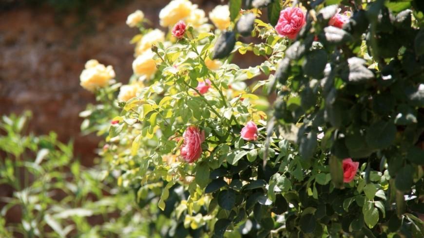 Розы илилии: столичные остановки украсят цветами
