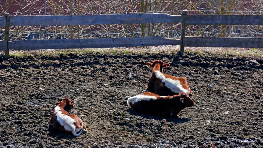 В Татарстане стадо коров вывалили прямо из кузова самосвала