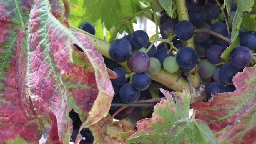 Грузинские виноградари требуют повысить закупочные цены