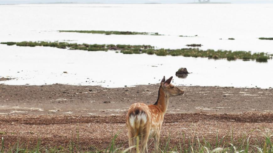 Пятнистый олененок приплыл в Россию из Японии на льдине