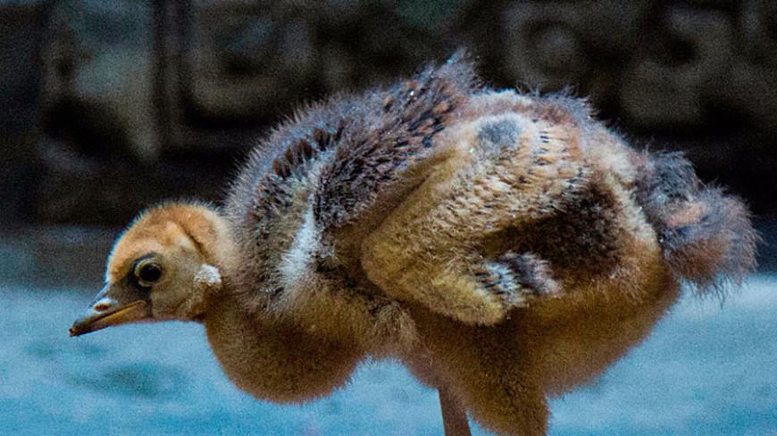В Московском зоопарке родился птенец венценосных журавлей