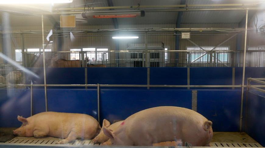 Донорские органы вырастят в свиньях