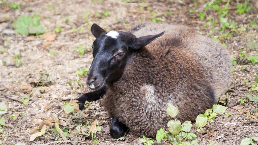 С самого заросшего барана Австралии сняли 40,5 кг шерсти