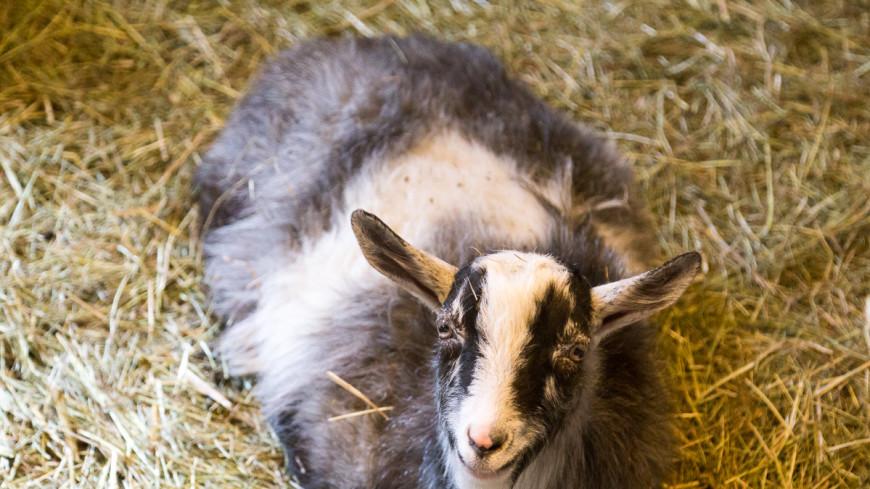 Марокканские козы повышают производство арганового масла