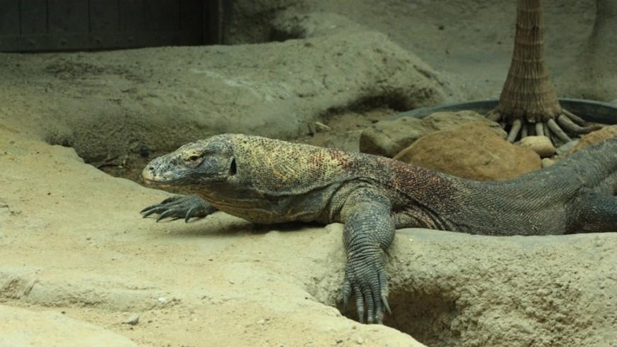 """Фото: Мария Чегляева, """"«МИР 24»"""":http://mir24.tv/, ящерица, земноводные, пресмыкающиеся, рептилии, варан"""