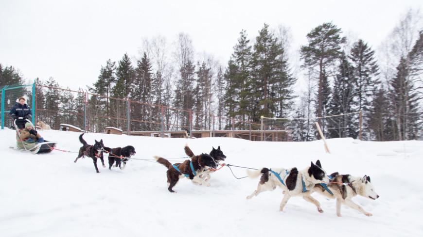 Женщина на собачьей упряжке устроила ДТП в Иваново