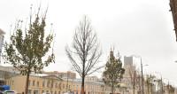 На улицах Москвы высадили более трех тысяч деревьев