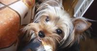 Собачья пластика: йоркширам тоже делают подтяжки