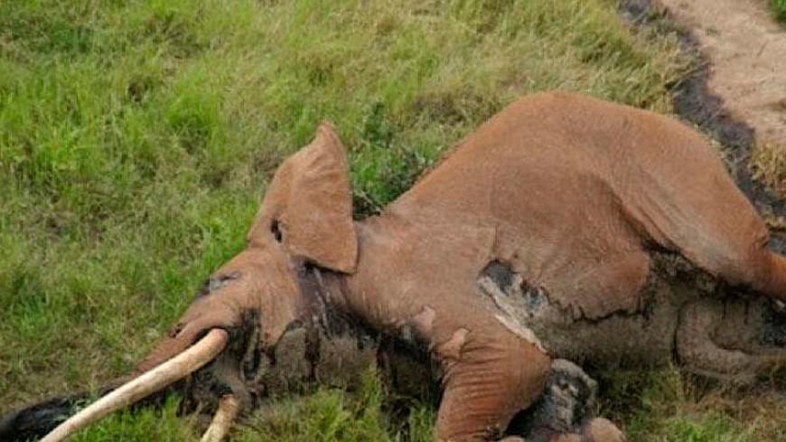 В Кении браконьеры ради бивней убили 50-летнего слона