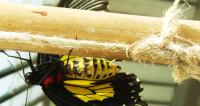 Реагенты увеличивают у бабочек мускулы и мозг