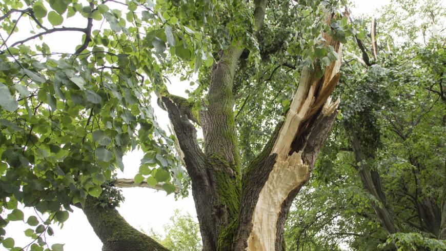 Москву избавят от 27 тысяч старых деревьев