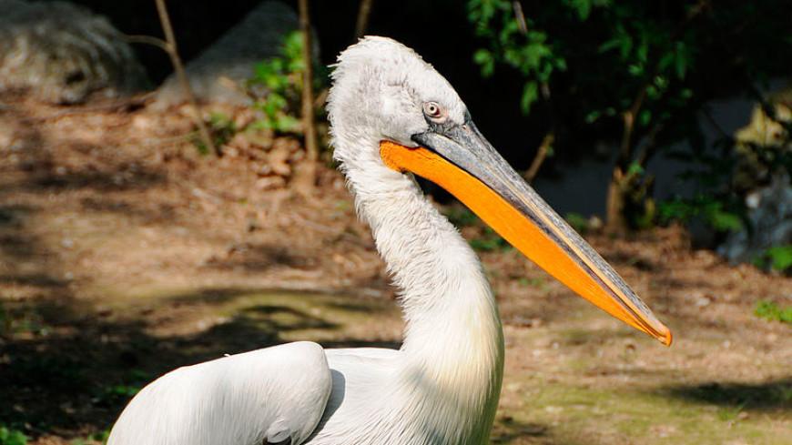 Птичий грипп добрался до кудрявых пеликанов в венском зоопарке