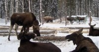 Овес и глинтвейн: для диких зверей в России открывают «лесные столовые»