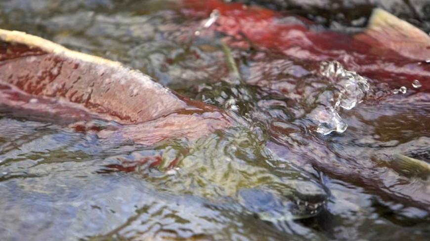В России ради сохранения промысла лосося изменят правила рыболовства