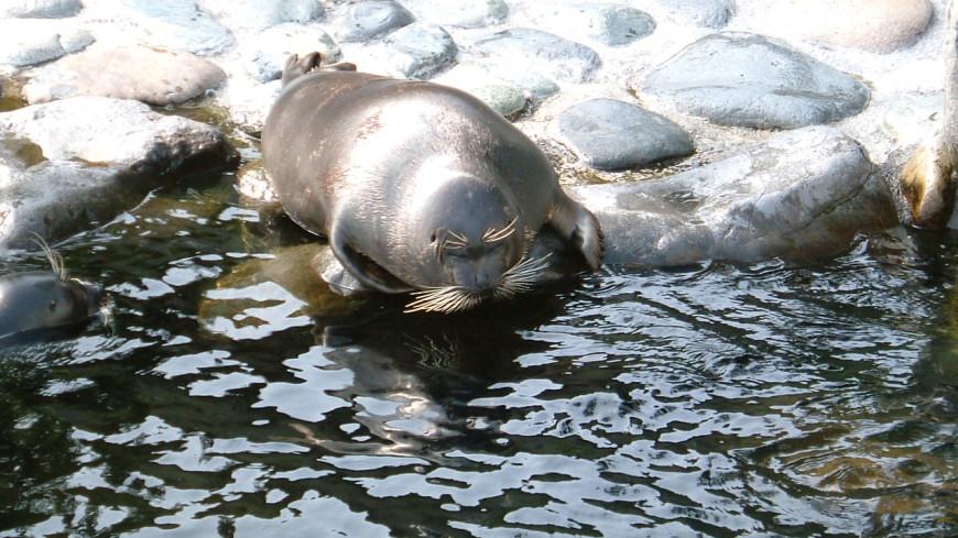 Власти Иркутской области передали японскому зоопарку трёх байкальских нерп