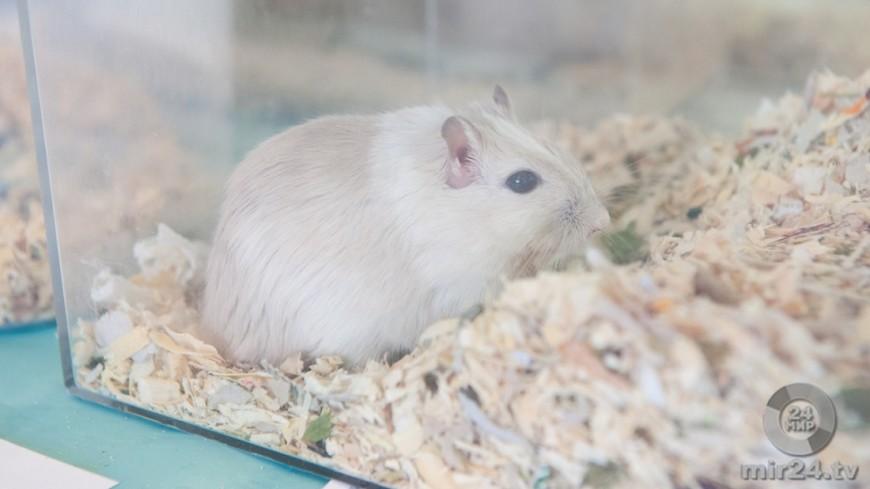 Мыши указали ученым на легкий способ борьбы с ожирением
