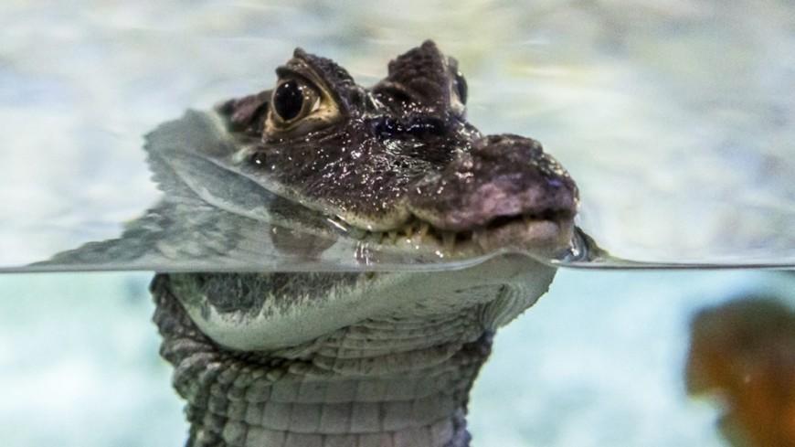 "Фото: Татьяна Константинова, ""«Мир 24»"":http://mir24.tv/, крокодил, океанариум"