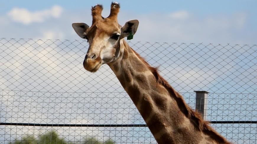 Новая версия: зачем жирафам длинная шея