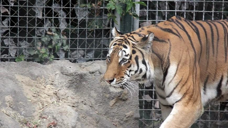 Тигр напал насотрудницу зоопарка вКалининграде