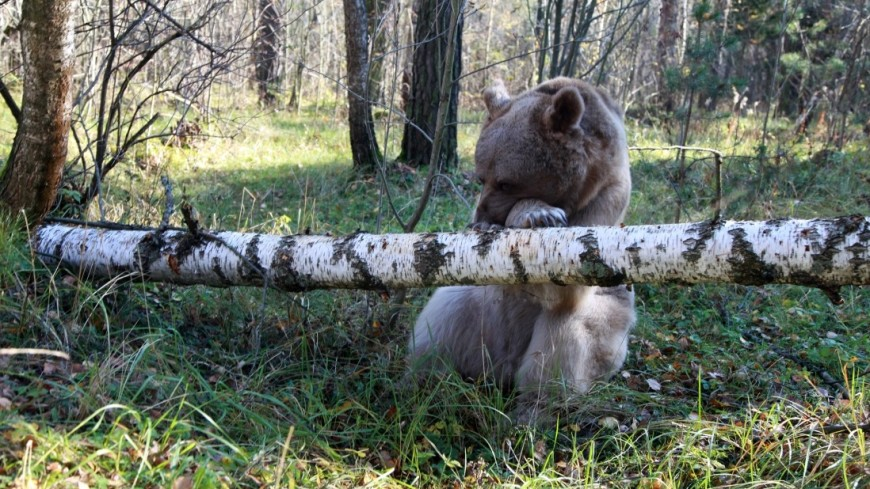 ВИркутской области медведь похитил уохотника два ружья